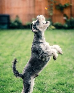 black and white miniature schnauzer jumping on green grass to catch a treat