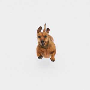brown short coated dog on white background