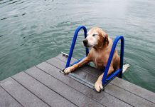 Dog using the pet stair to get out of water