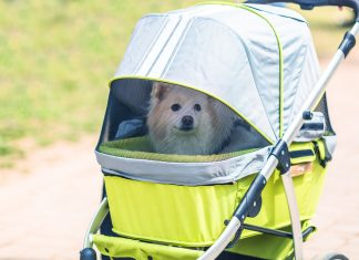 White dog sitting in the dog stroller