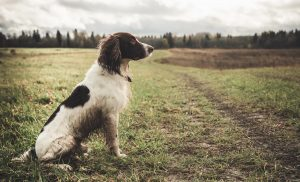 English Spaniel sits on a field