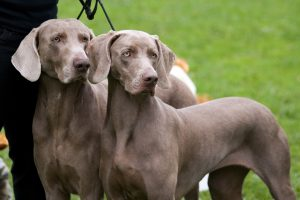 Two Weimaraners on a leash