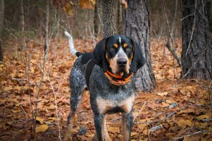 Bluetick Coonhound standing on the autumn leaves