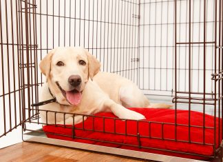 Happy labrador lies in a metal dog crate
