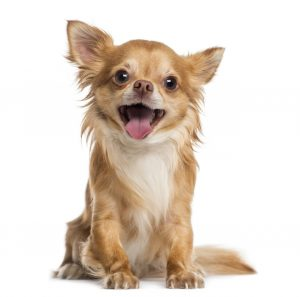 Chihuahua – Best Small Dogs for Seniors