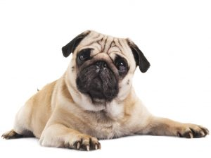 Pug – Best Small Dogs for Seniors