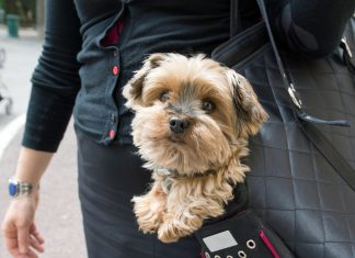 Adorable yorkshire terrier inside shoulder bag carrier of a woman on the street in Paris.